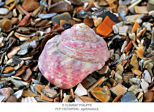 Painted top shell / Turban top shell (Gibbula magus) sea snail on beach