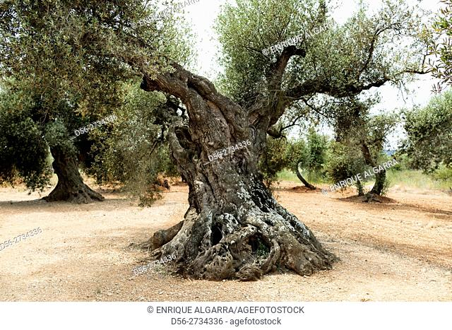 Aged olive trees, Canet lo Roig, Castellón, Spain