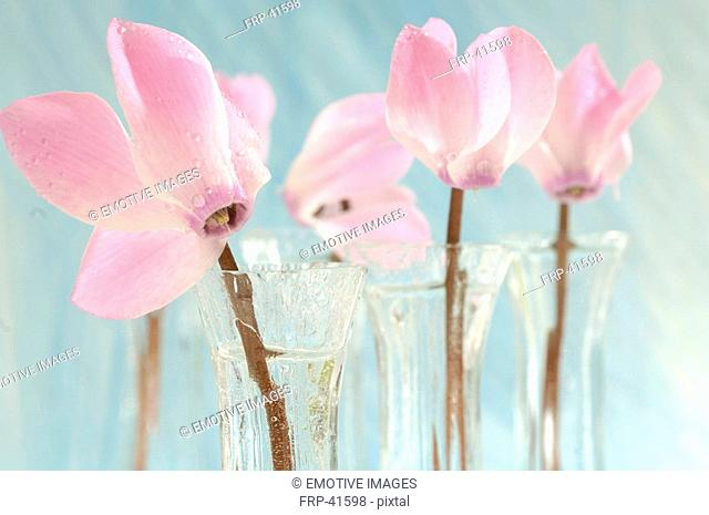 Pink cyclamens in glass vases