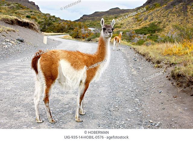 Guanaco, Lama guanicoe, Chile