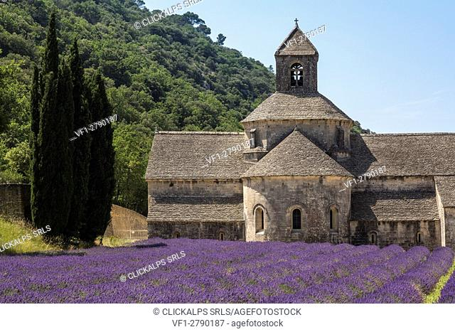 Lavender raws in front of the abbey of Sénanque. Gordes, Vaucluse, Provence-Alpes-Cote d'Azur, France, Europe
