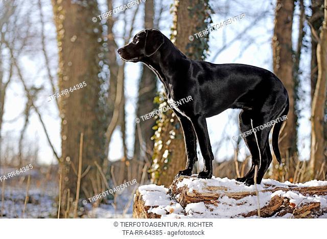 Labrador-Dalmatian-Mongrel