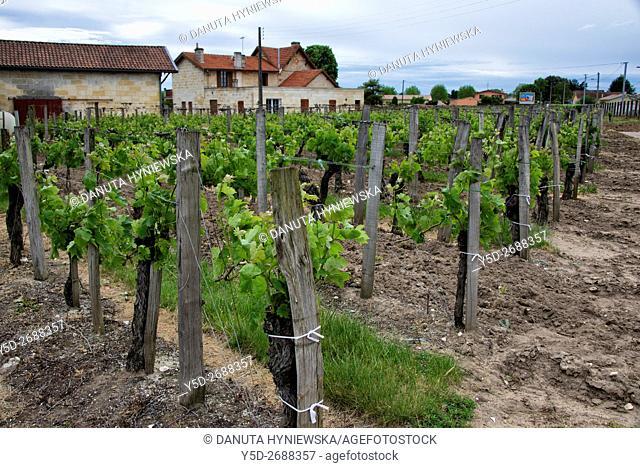 vineyard, Côtes de Bordeaux wine district, Libourne, Gironde, Aquitaine, France