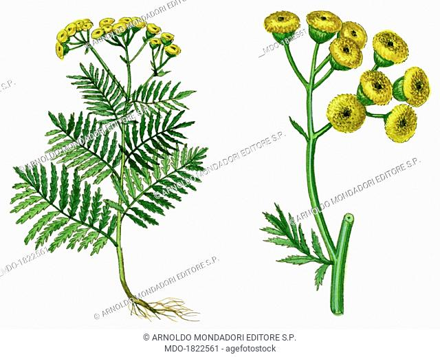 Tansy, by Giglioli E., 20th Century, ink and watercolour on paper. Whole artwork view. Drawing of the plant and the flower of Tansy