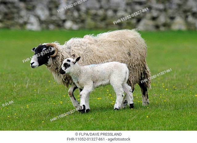 Domestic Sheep, Swaledale ewe and lamb, walking in pasture, Hardraw, Wensleydale, Yorkshire Dales N.P., North Yorkshire, England, May