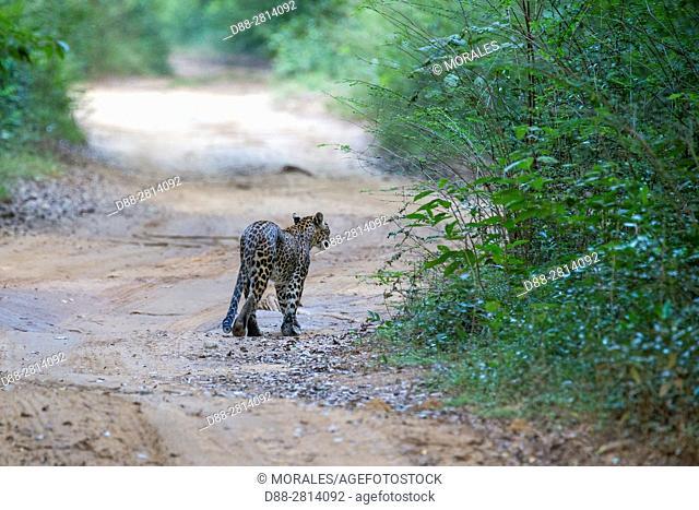 Sri Lanka, Northwest Coast of Sri Lanka, Sri Lankan Leopard Panthera pardus kotiya), walking