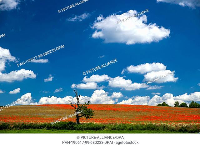 17 June 2019, Mecklenburg-Western Pomerania, Goldberg: A field with flowering poppies can be seen in front of a partly cloudy sky