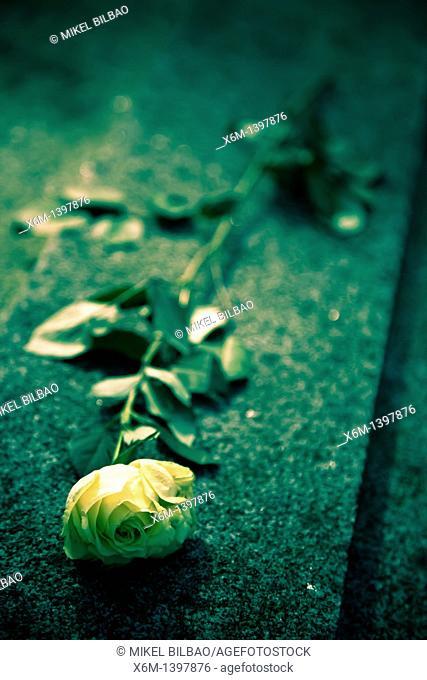 Rose flower  Pere Lachaise Cemetery  Paris, France, Europe