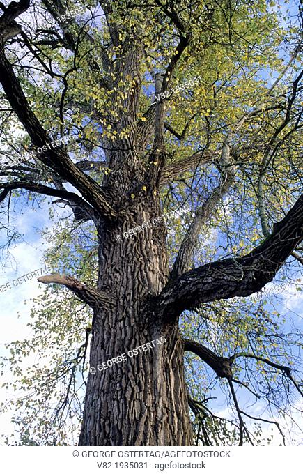 Worlds largest black cottonwood, Willamette Mission State Park, Oregon