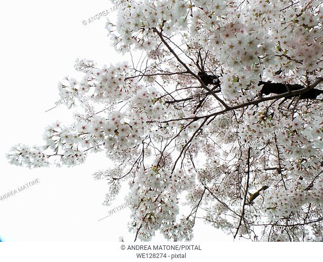 White Japanese cherry tree