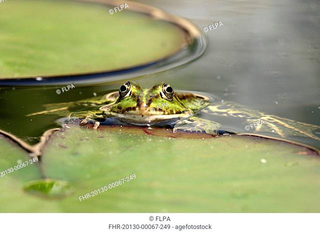 Edible Frog Rana esculenta adult swimming in garden pond, amongst waterlily leaves, Germany