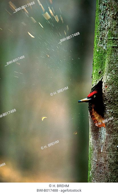 black woodpecker (Dryocopus martius), male, building the nesting cave, flying shipping, Germany