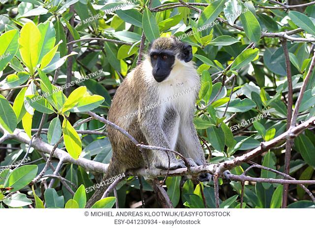 Green vervet monkey (Chlorocebus pygerythrus) in Gambia