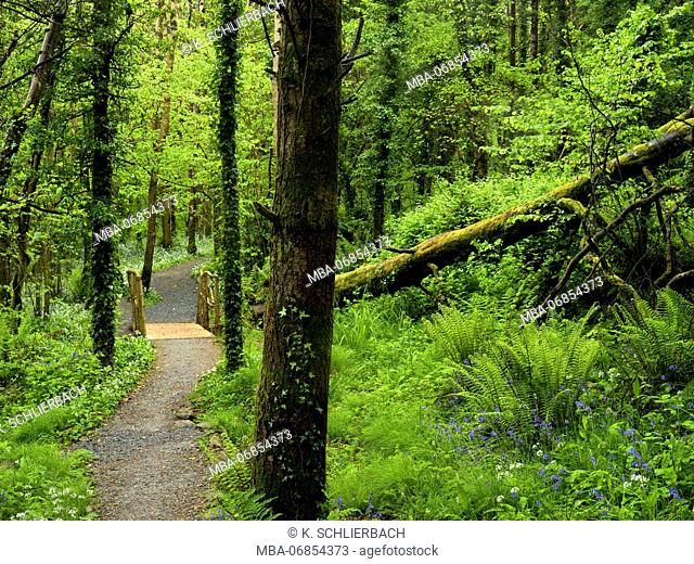 Ireland, Wexford county, way with wooden bridge in the coastal primeval forest of the Hook pensinsula, ferns, blossoming wild garlic, forest of beeches