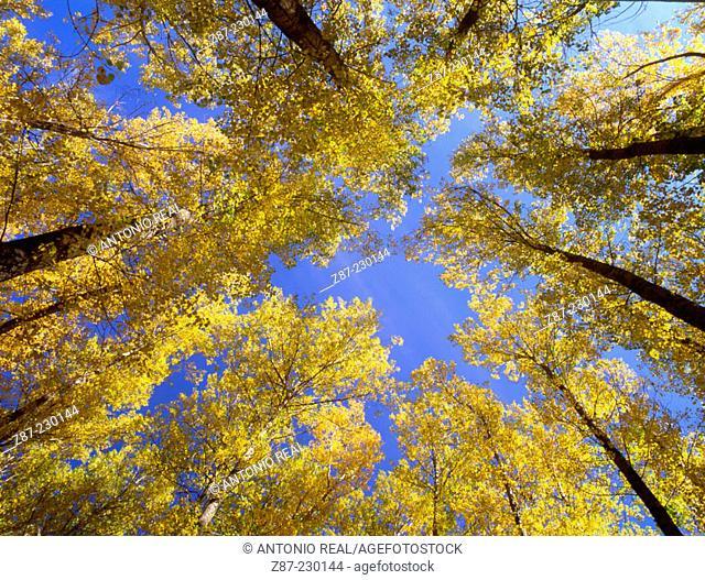 Poplars. Benasque Valley. Huesca province. Spain