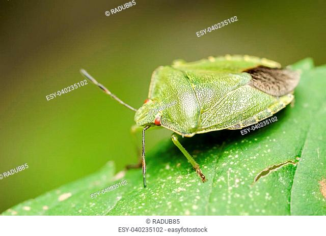 Extreme Macro Details Of A Green Striped Shield Bug Or Stink Bug