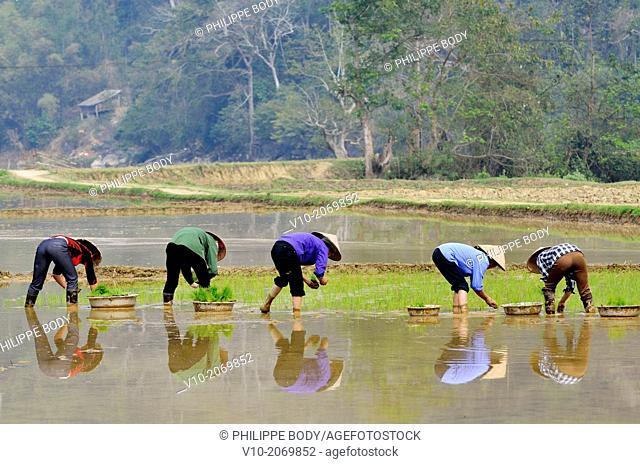 Vietnam, National Park of Ba Be, Ba Be Lake, planting paddy rice, spring season