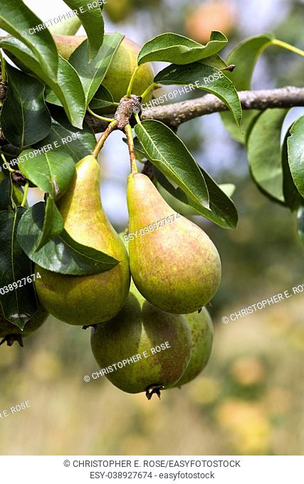 Pears ripening in the orchard