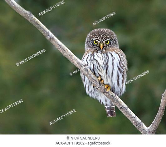 Northern Pygmy-Owl, Glaucidium gnoma, perched in the Boreal Forest, North-west Saskatchewan