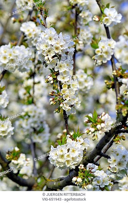 blooming cherry fruit trees. - DUEREN, GERMANY, 01/04/2007