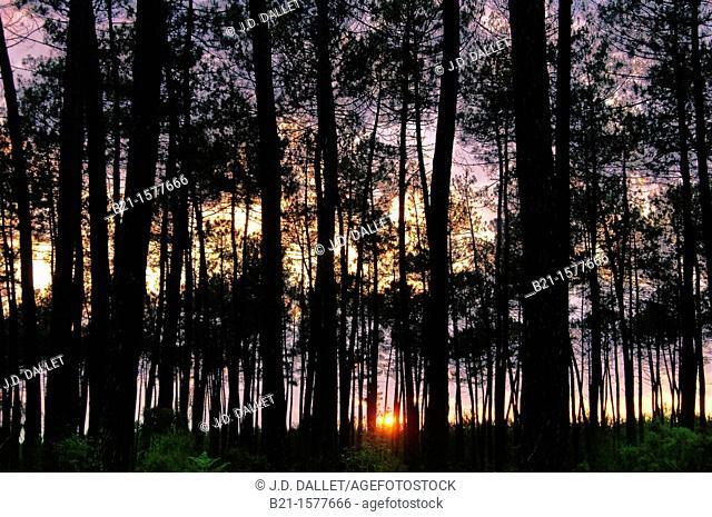 Pilgrimage way to Santiago de Compostela: Landes forest at sunset, Aquitaine, France