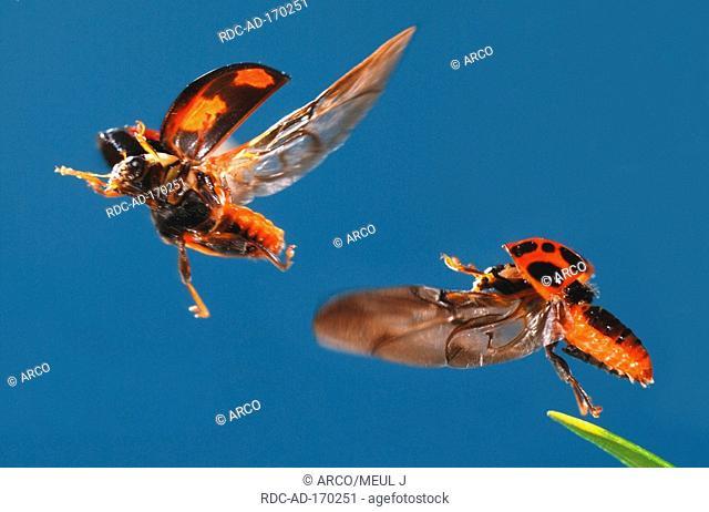 Multicolored Asian Lady Beetles, Harmonia axyridis, Multicolored Asian Lady Bird