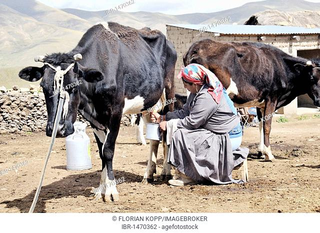 Dairy cow farming, woman milking cow, Altiplano Bolivian highland, Oruro Department, Bolivia, South America