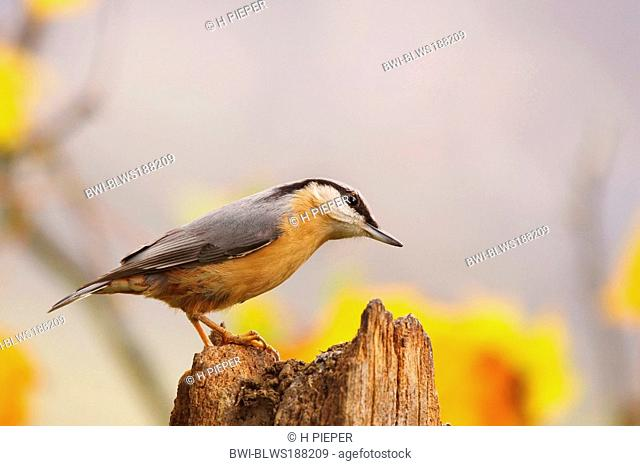 Eurasian nuthatch Sitta europaea, on tree snag