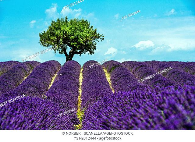 Europe, France, Alpes-de-Haute-Provence, 04, Regional Natural Park of Verdon, Valensole. Field of lavender