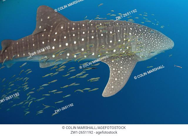 Whale Shark (Rhincodon typus) with small fish and Remoras, Cenderawasih (Bird of Paradise) Bay, West Papua, Indonesia