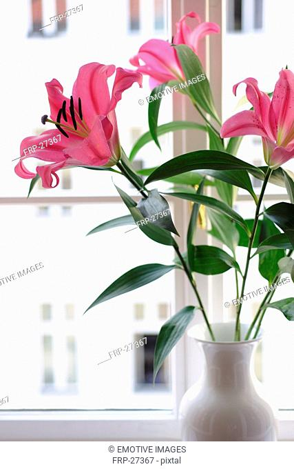 Pink lilies at the window
