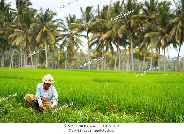 Man ib a rice field. Bali. Indonesia, Asia
