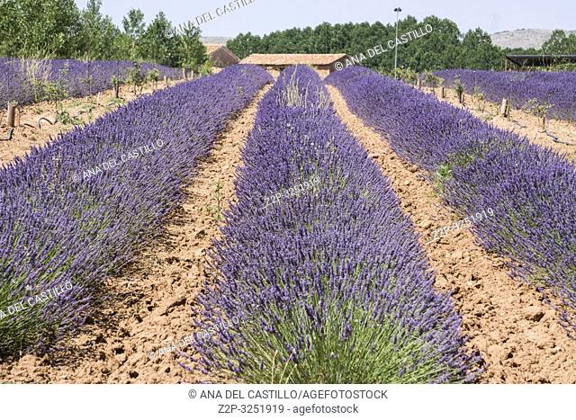 Lavender field in El Pobo Teruel Aragon Spain