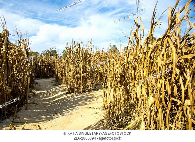 Very high and tall corn fields with dirt sandy path in a corn maze. Dramatic blue sky
