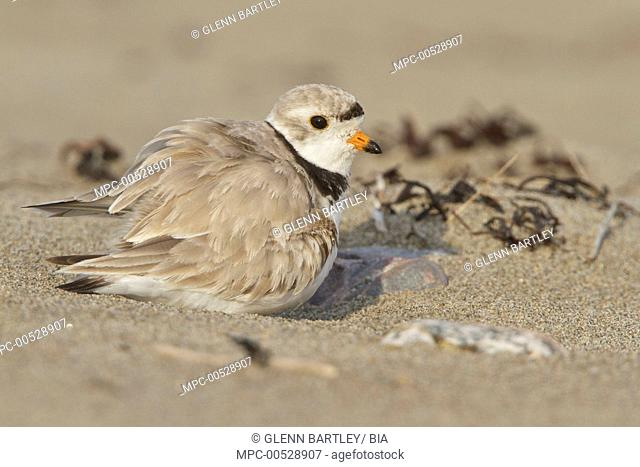 Piping Plover (Charadrius melodus), Newfoundland, Canada