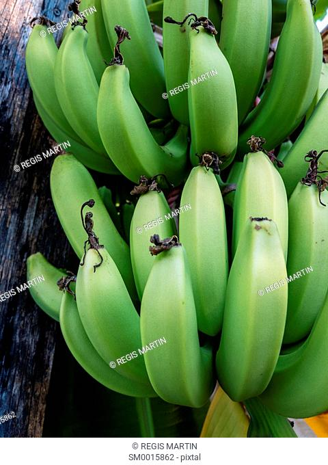 Green organic bananas growing in a private backyard in Darwin Australia