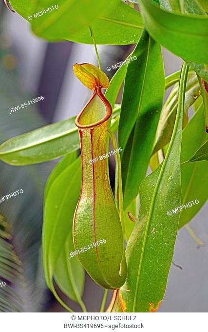 pitcher plant (Nepenthes alata), traps, Philippines