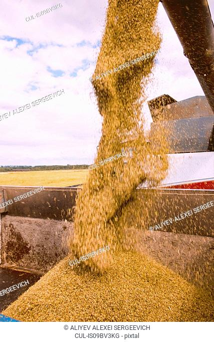 Cereal grain pouring from combine harvester into truck, detail
