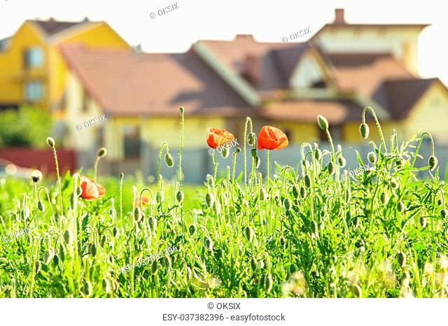 Living out of town - poppies field near the house