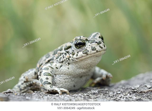 European Green Toad ( Bufotes viridis ), female, on the ground, in typical pose, wildlife, Europe