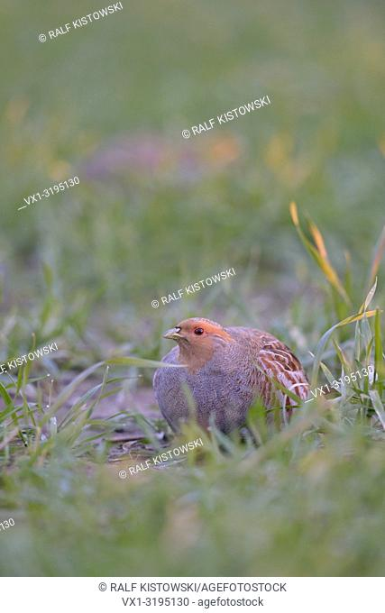 Grey partridge (Perdix perdix) hiding in a grain field in first morning light