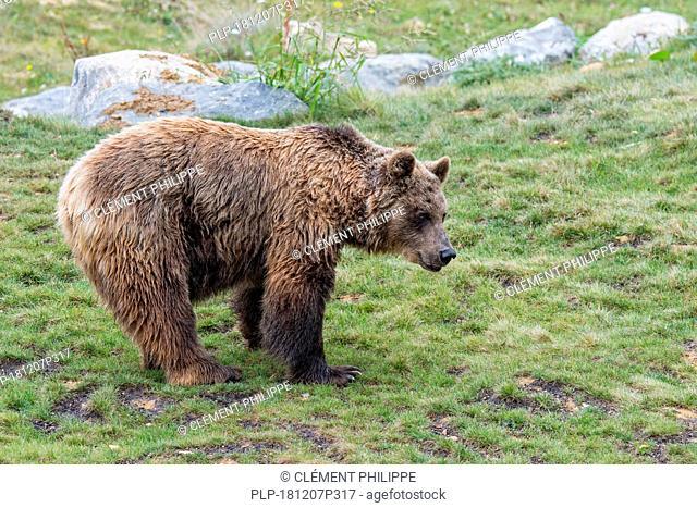 European brown bear (Ursus arctos arctos) foraging in Alpine pasture