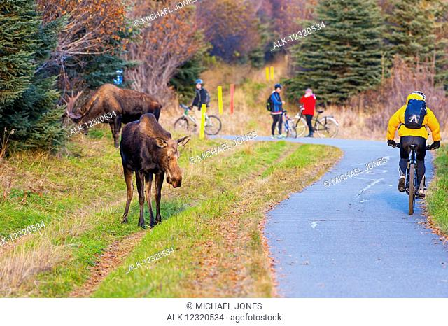 A bicyclist rides by a bull moose and cow during the rut season in autumn, Kincaid Park, Anchorage, Southcentra Alaska, USA