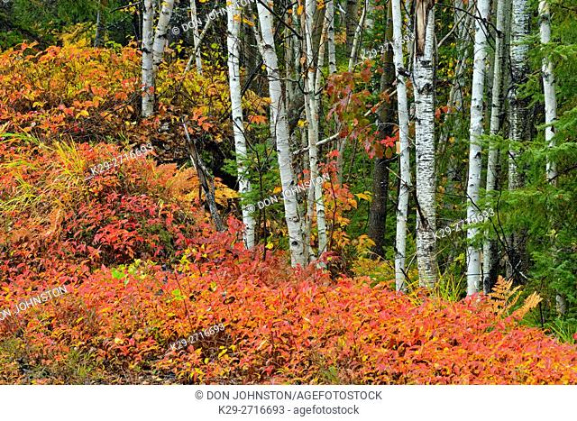 Autumn honeysuckle with white birch trees. Greater Sudbury