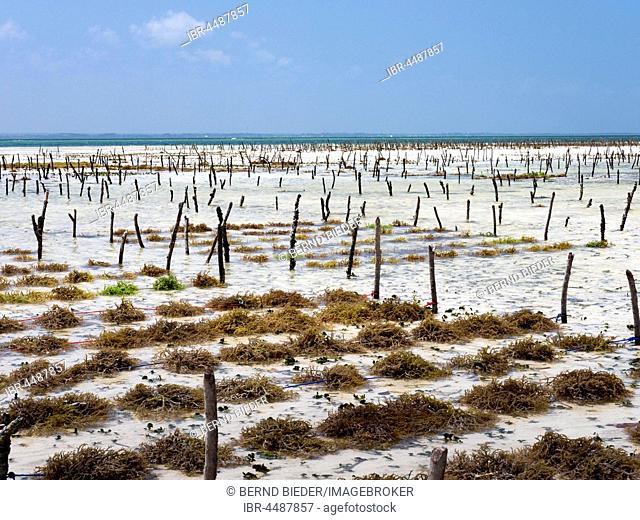 Cultivation of Eucheuma seaweed, aquaculture, algae farm, Zanzibar Archipelago, Tanzania