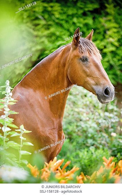 Lusitano horse standing - portrait