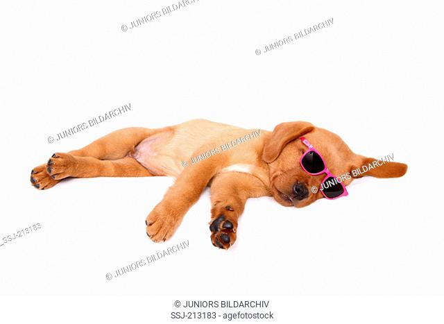 Labrador Retriever. Puppy (8 weeks old) sleeping, wearing sun glasses. Studio picture against a white background. Germany