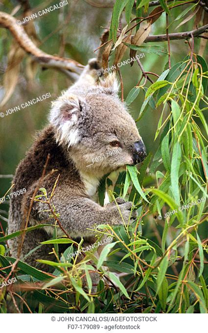 Koala (Phascolarctos cinereus). Australia