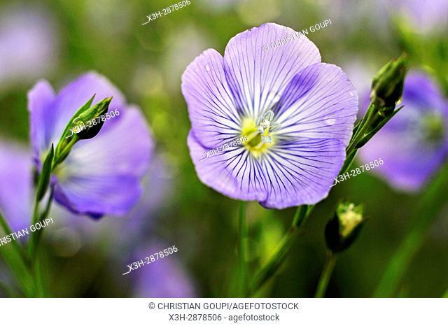 flax field flowering, Centre-Val de Loire region, France, Europe