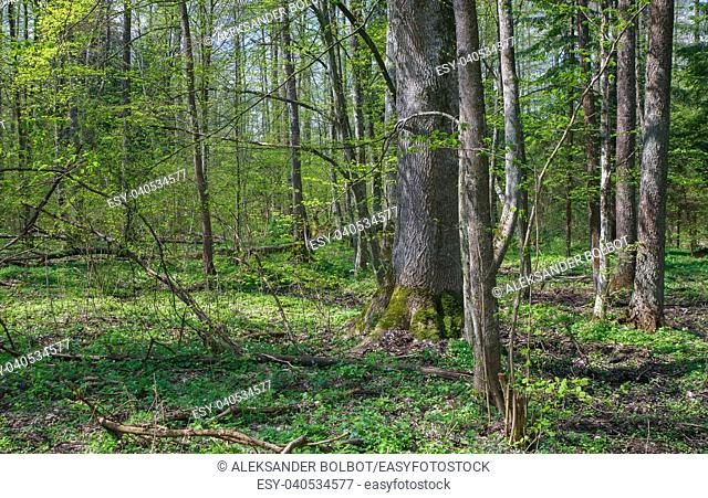 Deciduous stand of Bialowieza Forest Landscape Reserve at sunnny springtime day with Wood Anemone floering floral bed